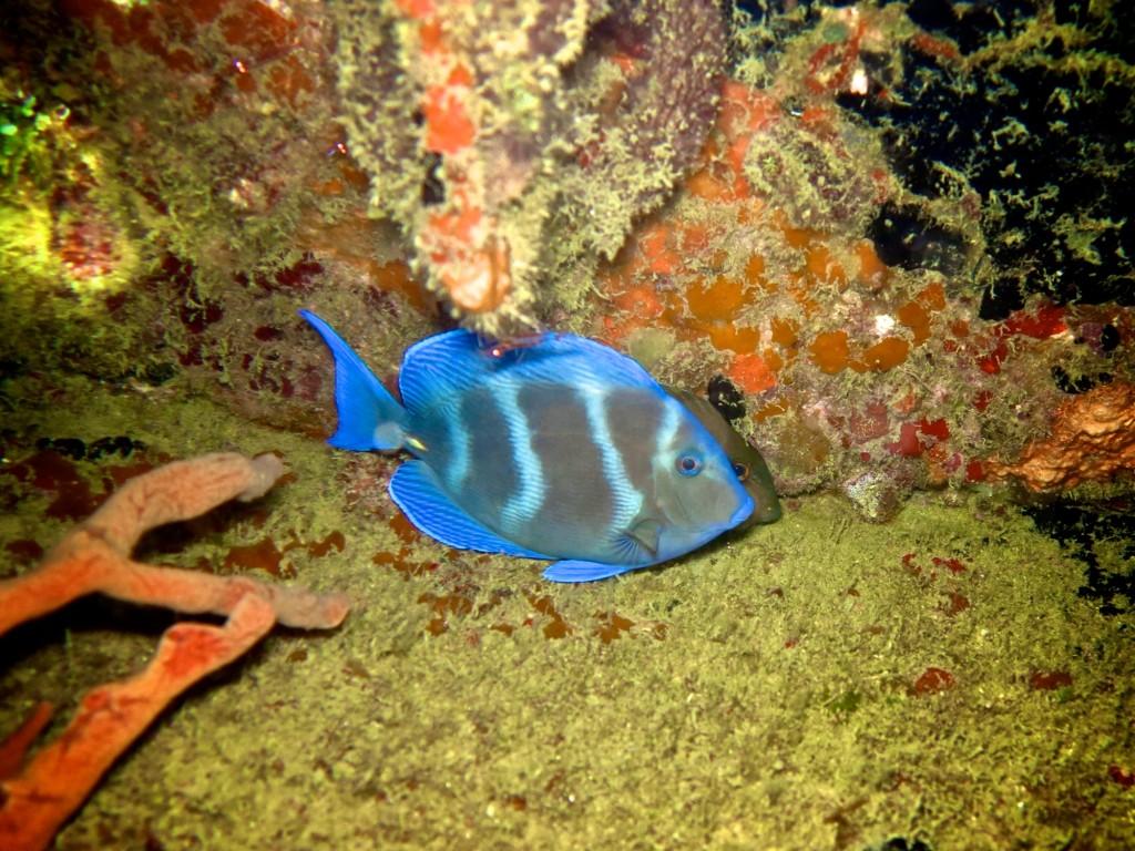 diving Barbados blue fish