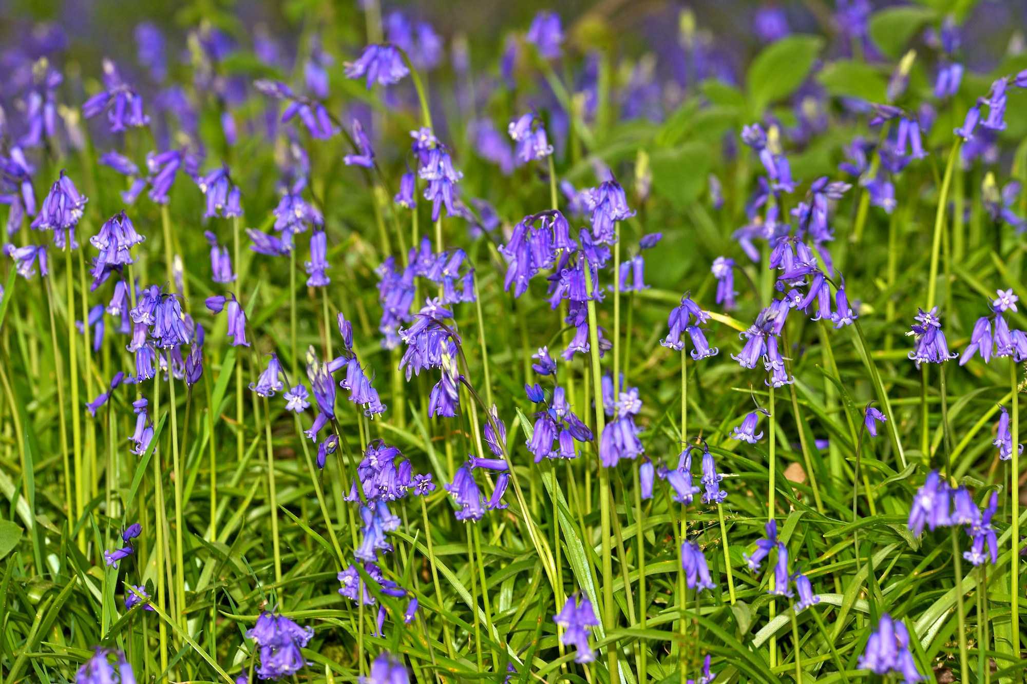 bluebells, epsom, surrey, dorking, wedding photographer