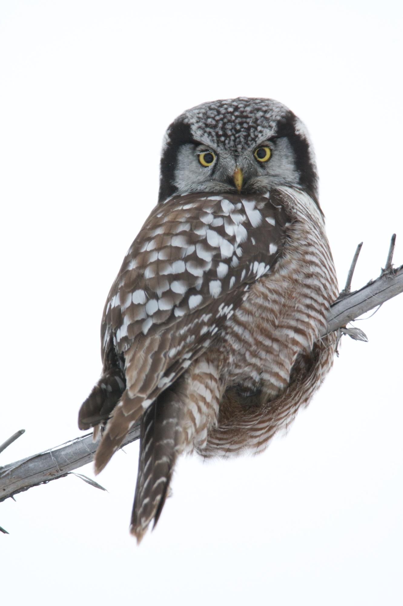 snow around an owl